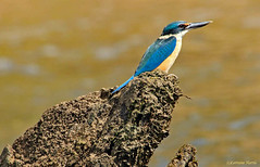 Sacred Kingfisher ... waiting (aussiegypsy_tropical FNQld) Tags: wild bird nature water forest woodland river adult turquoise wildlife hunting australian australia coastal kingfisher sacred queensland hunter common daintree birdlife fnq widespread mediumsize todiramphussanctus tnq bluerumped