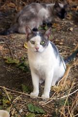 Noro 58 (Asociacin Defensa Felina de Sevilla) Tags: espaa sevilla gatos felinos animales gatitos adoptar protectora adopciones apadrinar gatosurbanos defensafelina asociacindeanimales coloniasdegatos proteccindegatos activismoporlosanimales