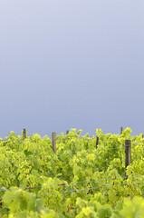 Pluja a la vinya (Adri Cabo) Tags: rain lluvia via penedes vinya pluja sigma105