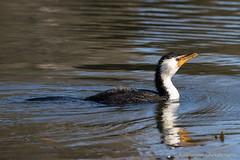 Little pied cormorant (kasia-aus) Tags: bird nature water animal swimming wildlife australia canberra cormorant reflction piedcormorant littlepiedcormorant microcarbomelanoleucos