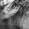 (Casey Lombardo) Tags: bw blackandwhite bwphotography museum naturalhistorymuseum dinosaur dinosaurs tyrannosaurus tyrannosaurusrex skeleton fossils tripleexposure multipleexposure multipleexposures