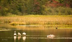 Meet the Trumpeter Swan Family . . . (Dr. Farnsworth) Tags: ruggpond kalkaska scenic rapidriver swans birds trumpeter family cygnet fernridge mi fall september2016