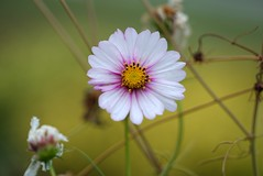 Cosmos (JPShen) Tags: cosmos pink bokeh flower autumn colors garden fall one only plants nature