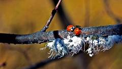 Ant and his 2 pals farming the Fungi (Bob's Digital Eye) Tags: animals ant bobsdigitaleye canon depthoffield ef50mmf18ii flicker flickr fungi insects ladybug macro organictexture t3i wildlife