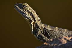 Water Dragon (Luke6876) Tags: waterdragon easternwaterdragon lizard reptile animal wildlife australianwildlife