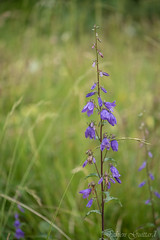 2016-07-31 - 10-59-01 - 8527 (Fabien Guittard) Tags: alpes alps campanula campanule et fleur flower macro montagne mountain nature summer vacances vegetal vgtal bellflower lanslevillard hautemauriennealpes france fr
