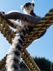 P1150203 (Pursuedbybear) Tags: tarongazoo sydney sydney2016 ringtailedlemur lemur