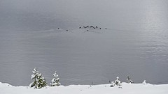 Yellowstone Geese Heading Out to Migratory Commute _1390167 (Lynn Friedman) Tags: yellowstone migrate geese swim formation lake winter snow greatescape