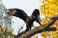 Vulture in a tree (Carol Matthai Photography) Tags: vulture flying wings nature wildlife bird predator