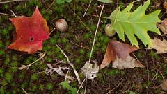 Still Pretty Signs of Distress - IMGP6465 (catchesthelight) Tags: fall foliage fallfoliage leaves colorchange boscawen light maple distress