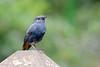 Plumbeous redstart (male) (jc.han) Tags: pentax pentaxfa300f45 pentaxk5iis perch wulingfarm plumbeousredstart 鉛色水鶇