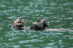 A Feast -- 3 of 3 (Rick Derevan) Tags: alaska kodiak otter seaotter enhyrdalutris kodiak2016 kodiaktrip2016 places