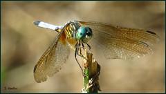 Tattered Wings (Suzanham) Tags: dragonfly wings insect bug nature odonata mississippi bokeh canonpowershotsx60hs noxubeewildliferefuge macro