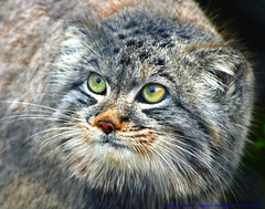 Caturday...... (law_keven) Tags: pallascat cat howlettswildlifepark howletts cats animals mammals pallas wildlife felismanul wildcat