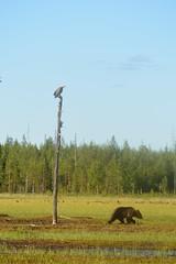 Duo Aigle et Ourson (Bn Lefort) Tags: finland finlande finlandia ours ourson aigle eagle nature sauvage wild