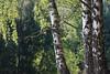 ckuchem-9737 (christine_kuchem) Tags: baum birken borke bã¤ume drilling laubbaum nadelbã¤ume natur rinde sommer tannenwald wald zwilling drei sonnig zwei