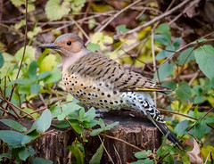 Northern Flicker (tresed47) Tags: 2016 201611nov 20161121chestercountybirds birds canon7d chestercounty content flicker folder pennsylvania peterscamera petersphotos places takenby us ngc