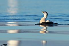 Showing off (birdtracker) Tags: eiderduck eider duck coast courtshipdisplay ripples water waterbird scotland nature wildlife