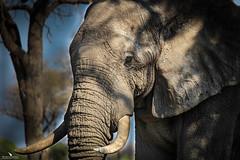 Elephant Portrait (pbmultimedia5) Tags: khwai river okavango delta botswana africa elephant nature animal tree camp pbmultimedia