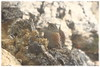 Prunella collaris (Sordone) (daril77) Tags: cengio montecengio cogollo veneto vicenza italia italy valdastico animals animali altipiano asiago canon eos eos7d 7d