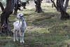Greek Lawnmower (heini.martinez) Tags: goat corfu kerkyra marathias shadow green olive grove animal use sustainable agriculture ziege korfu schatten olivenhain nachhaltig tiernutzung