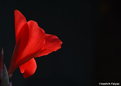 Bloom of Red (MashrikFaiyaz) Tags: minimalism flower plant petal photo border red bloom flowers natural nature beauty beautiful sunshine sunlight noon sun light macro asia dhaka bangladesh south southasia nikon d5300