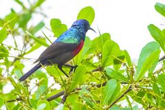 UN NECTARINA (Ezio Donati) Tags: animali animals uccelli birds natura nature nikond810 foresta forest albero tree rami branches colori colors