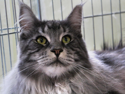 Maine Coon Cat, Silver Tabby