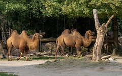 Parco Natura Viva (03) - camels (Vlado Fereni) Tags: parconaturaviva zoo zoosafari italy animals animalplanet nikond600 camels nikkor8020028 veneto