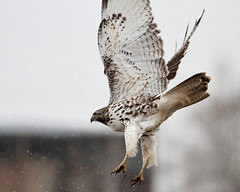 Red-tailed hawk (jlcummins - Washington State) Tags: bird rapter kittitascounty washingtonstate canon tamronsp150600mmf563divcusd nature redtailedhawk ellensburg snow