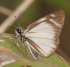 Heliopetes arsalte, Veined White-Skipper (Birdernaturalist) Tags: butterfly ecuador hesperiidae jorupe loja pyrginae pyrgini richhoyer urracalodge