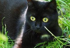 Natur Pur Österreich (arjuna_zbycho) Tags: blackcat tuxedo tuxedocat kater hauskatze cat animal cute animals pets gato kitten feline kitty kittens pet tier haustier katzen gattini gatto chat cats kocio