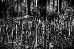 A forest in a forest (pszcz9) Tags: polska poland przyroda nature las forest zblienie closeup pejza landscape wiosna spring parknarodowy biebrzaski nationalpark beautifulearth bw blackandwhite monochrome czarnobiae sony a77