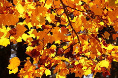 Autumn Leaves (qorp38) Tags: autumn backlight yellow golden
