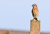Western Bluebird (Sialia mexicana) (Pacific Wildlife Images) Tags: westernbluebird sialiamexicana hamiltonwetlands hopefully california