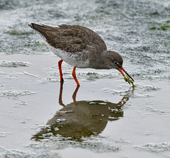 Common Redshank with frog (dorneyphoto) Tags: elements