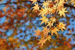 Momiji (jpellgen) Tags: japan japanese nihon nippon  ishikawa kanazawa kenrokuen garden zen     asia nikon 2016 fall autumn sigma 1770mm d7000 leaves leaf momiji koyo maple november travel honshu park nature scenery