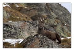 Stambecco Camoscio (celestino vuillermoz) Tags: stambecco camoscio alpi valledaosta