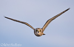 Head On (Short-Eared Owl) (Mitch Vanbeekum Photography) Tags: shortearedowl short eared owl inflight flying flight fly bluesky blue ny newyork orangecounty blackdirtregion wildlife wild canon14teleconvertermkiii canonef500mmf4lisiiusm canoneos1dx mitchvanbeekum mitchvanbeekumcom