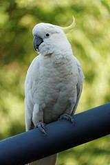 cacatua galerita (Seakayem) Tags: sony a99 minolta 70210 70201mm beercan cacatua galerita cockatoo sulfercrestedcockatoo parrot bird australia canberra belconnen