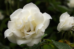As (Kynt87) Tags: flower plant outdoor serene white rose efs1022mmf3545usm canon eos 7d