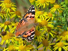Resplendent on the Ragwort (JulieK (finally moved to Wexford)) Tags: hbbbt paintedlady butterfly insect fauna ragwort pollination flower summer beautiful nature canonixus170