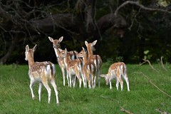 Youngsters (Nige H (Thanks for 7m views)) Tags: nature landscape animals deer fallowdeer