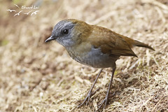 Black-billed Nightingale-Thrush (elaiphoto) Tags: blackbillednightingalethrush catharusgracilirostris elaiphoto ornithology birds birding wildlife nature costarica centralamerica