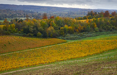 Autumn in the vineyard (I) (Modesto Vega) Tags: autumn d600 denbies denbiesestate fullframe landscape nikon nikond600 northdownsway nothdowns otoño outdoor paisaje surreyhills vine vinerow vineyard viña viñedo