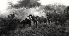 Camels arriving for the Annual Pushkar Cattle fair 2016 (bhavit.godiwala) Tags: twop ngc nikon d3300 bhavit camels camelfair pushkar pushkar2016 pushkarfair rajasthan blackandwhite bw dust