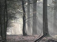 Afternoon light (polletjes) Tags: wood bos bois wald boom bomen tree trees baume arbre arbres natuur nature mist nevel fog licht light herfst autumn