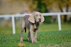 Chiot Braque de Weimar (Mystycat =^..^=) Tags: chien dog braquedeweimar hund perro greyghost weimaraner chiot puppy