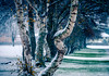 First Snow in Vancouver 溫哥華的第一場雪 (T.ye) Tags: tree snow branch forest landscape blurry bokeh tone blue todd ye 樹干 樹 反差 雪