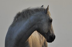 "0842 ""WHAT ARE YOU WATCHING ???"" (ipon1) Tags: horse cheval horses chevaux flickr yahoo like search elements best unforgettable outdoor outside happy pov cool niceshot lumière fun fave shine autofocus août august 2016 été summer ipon1 sunshine photographer photo wonderful stunning amazing sun shades reflex camera snapshot instantané photoshoot nikon nikond90 views magicworld animals tourcarbonière camargue southoffrance pond marshes ponds zoneshumides wetland humidzone wetzone humidarea moistarea curvy art naturaleza light france digital contryside depthoffield day sky objectifs color colours bokeh zoom lens natura"